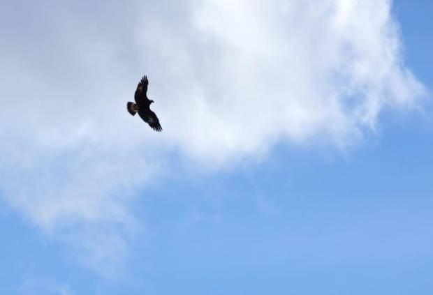 hawk-flying-in-the-sky-1113tm-pic-1351_zpseed08ea4